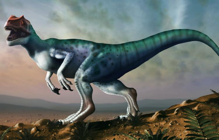 Allosaurus dinosaur, artwork. Allosaurs were large carnivorous therapods that lived during the late Jurassic period (150 to 155 million years ago) in what is now North America. They were bipedal (two-legged) predators that averaged a height of 8.5 metres. They were the apex predators of their time and have been referred to as the Lion of the Jurassic.