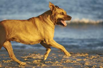 American Staffordshire terrier dog running on the beach at sunset