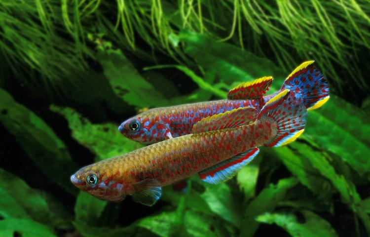 Mandatory Credit: Photo by Gerard Lacz / Rex Features (1656628a) Lyretail Killifish, aphyosemion australe, Adults STOCK