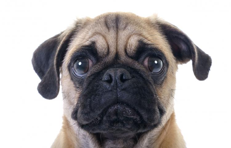 36970572 - closeup face headshot of pug dog crying with tear in right eye over white background