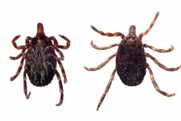 16060425 - ventral and dorsal view of a tick (hyalomma sp.) isolated over a white background.