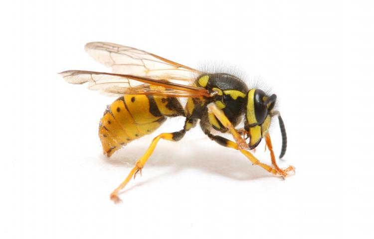close-up of a wasp isolated on white