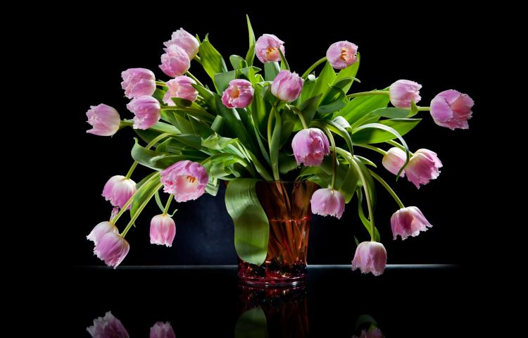 Pink tulips bouquet in glass vase on black background, Many tulipa Crispa Hamilton flowers with green leaves still life in studio shot, plants bunch on glass table with reflections in, nobody,